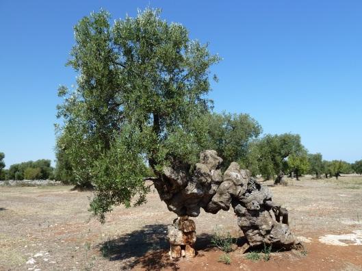 olivier antica masseria brancati ostuni1